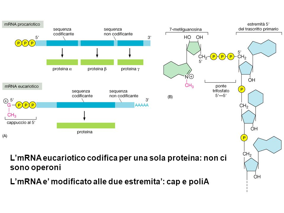 L'mRNA eucariotico codifica per una sola proteina: non ci sono operoni