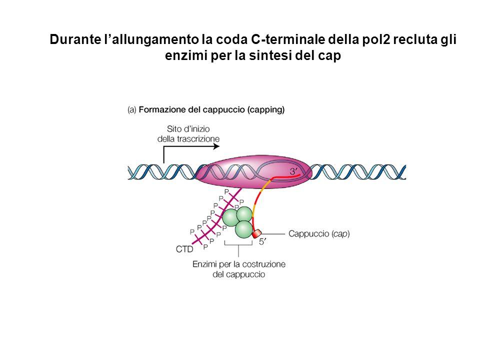 Durante l'allungamento la coda C-terminale della pol2 recluta gli enzimi per la sintesi del cap