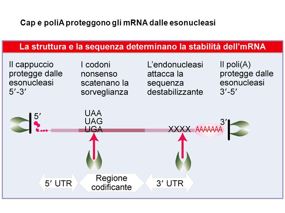 Cap e poliA proteggono gli mRNA dalle esonucleasi