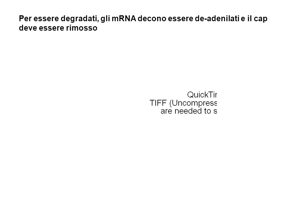 Per essere degradati, gli mRNA decono essere de-adenilati e il cap deve essere rimosso