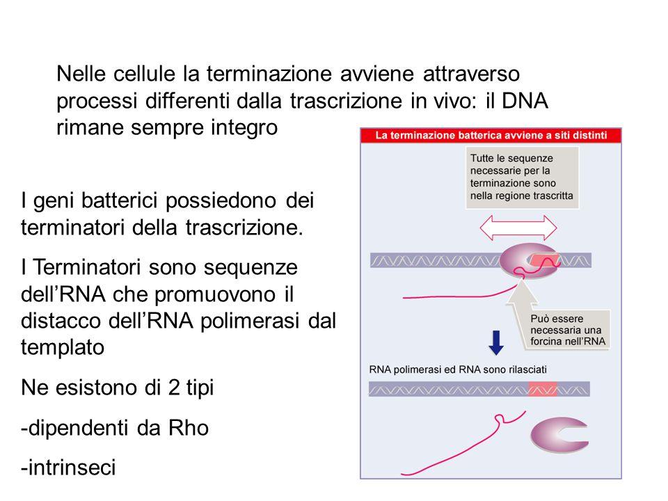 Nelle cellule la terminazione avviene attraverso processi differenti dalla trascrizione in vivo: il DNA rimane sempre integro
