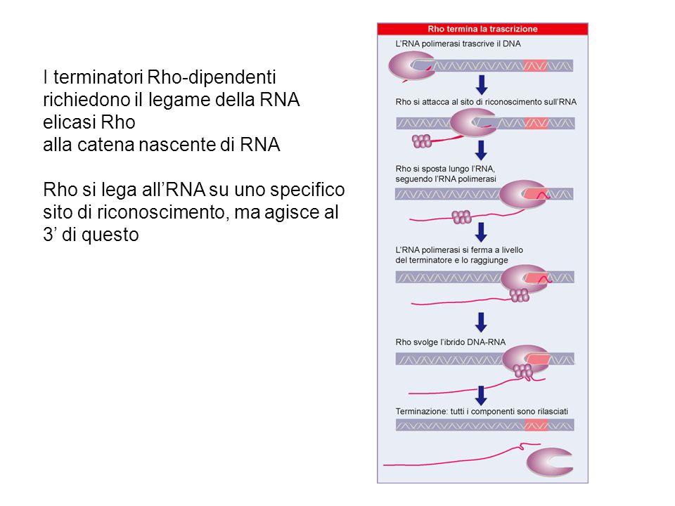 I terminatori Rho-dipendenti richiedono il legame della RNA elicasi Rho