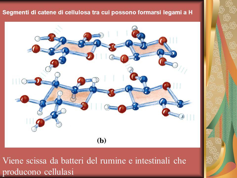 Segmenti di catene di cellulosa tra cui possono formarsi legami a H
