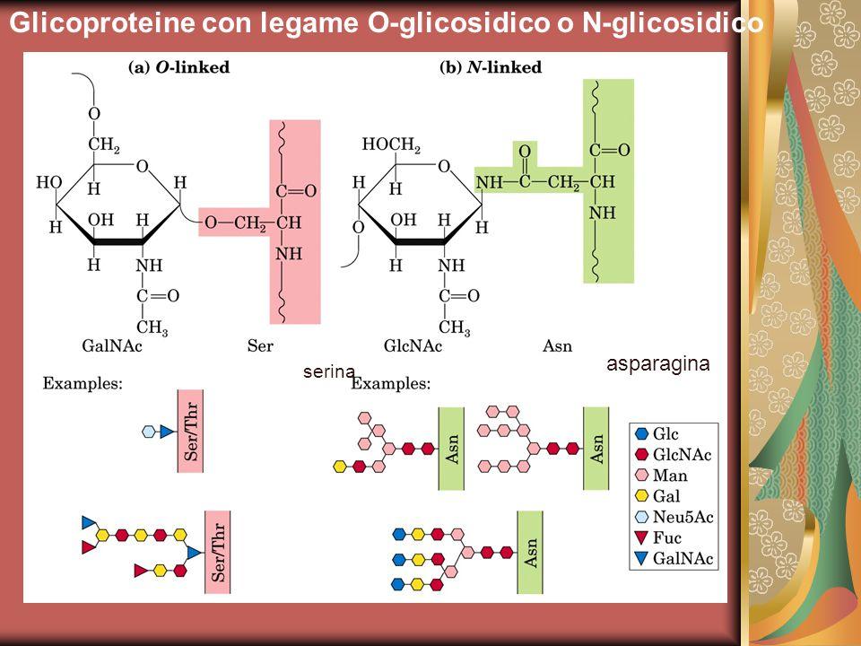 Glicoproteine con legame O-glicosidico o N-glicosidico