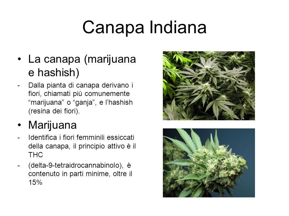 Canapa Indiana La canapa (marijuana e hashish) Marijuana