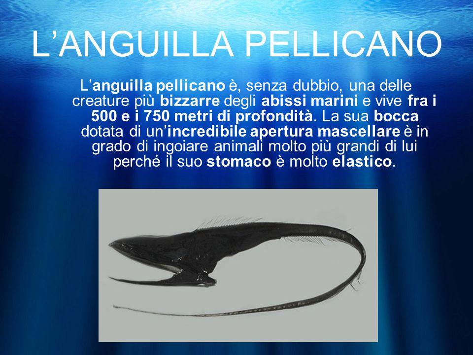 L'ANGUILLA PELLICANO