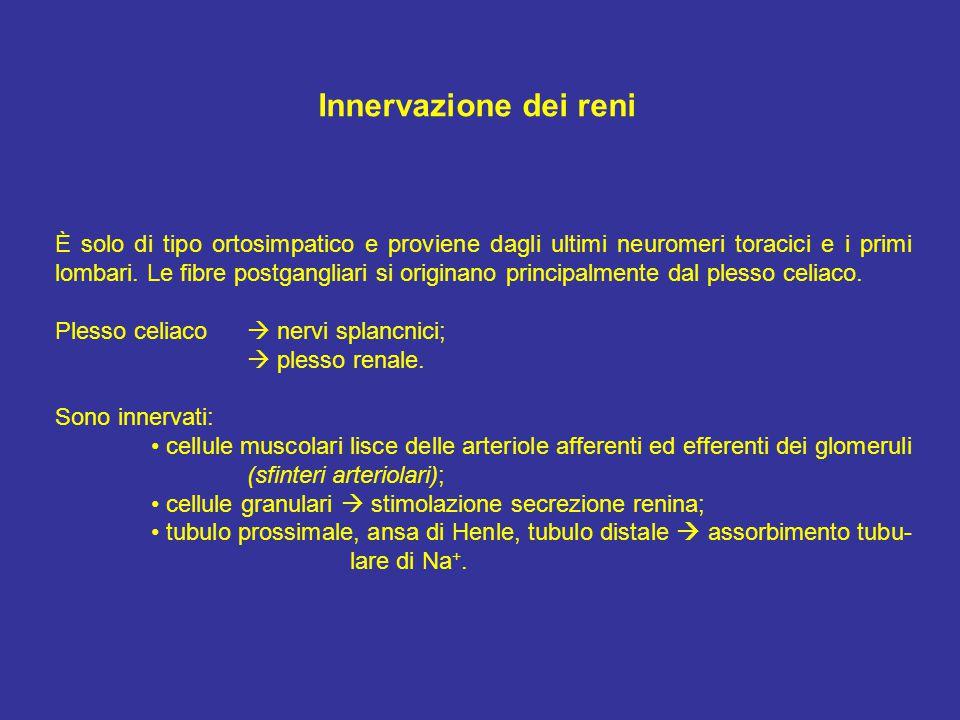 Innervazione dei reni
