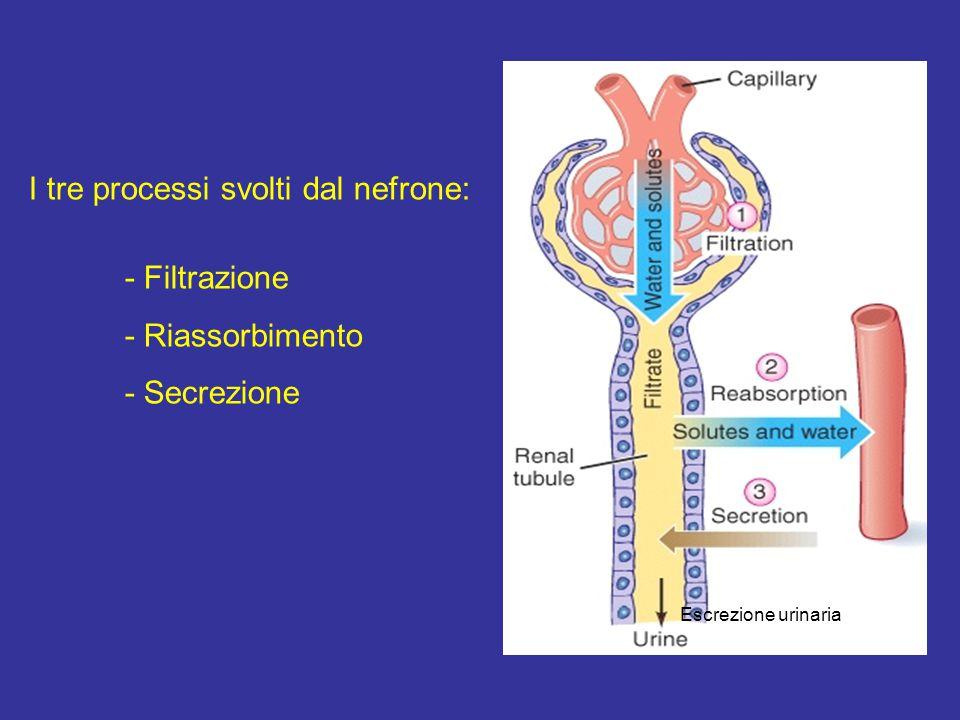 I tre processi svolti dal nefrone: - Filtrazione - Riassorbimento