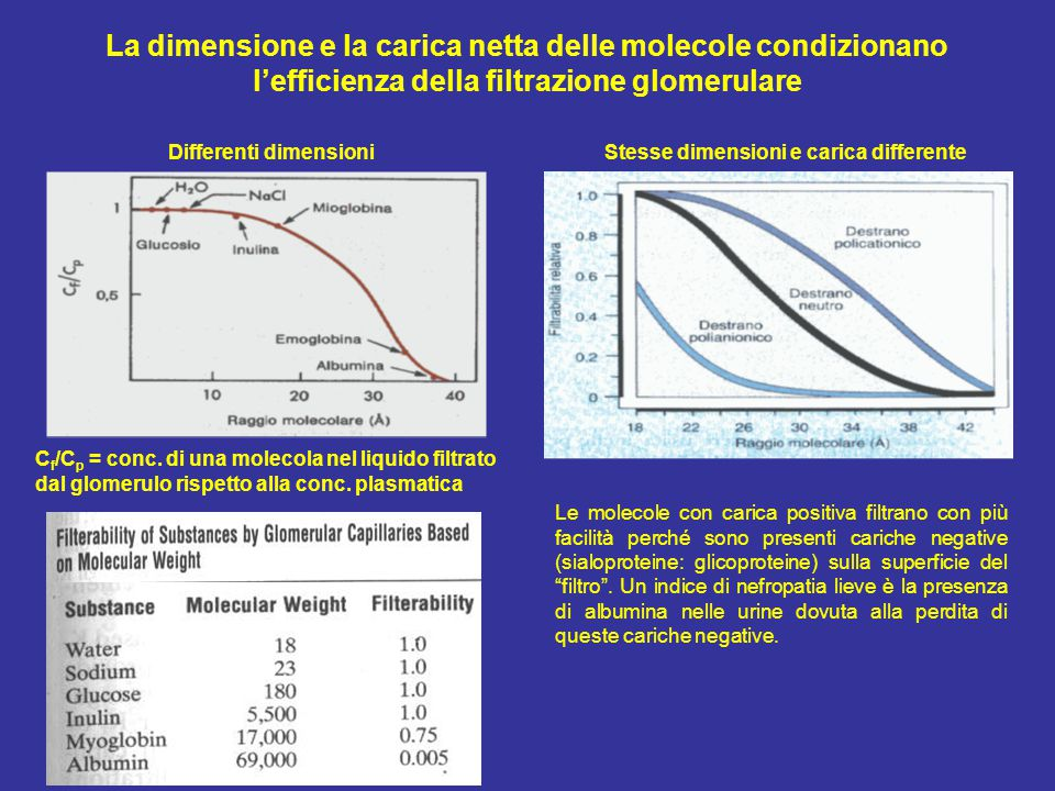 La dimensione e la carica netta delle molecole condizionano l'efficienza della filtrazione glomerulare