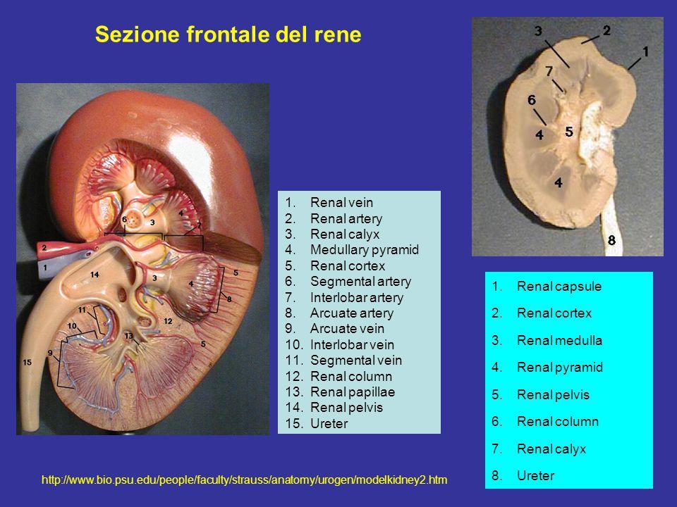 Sezione frontale del rene