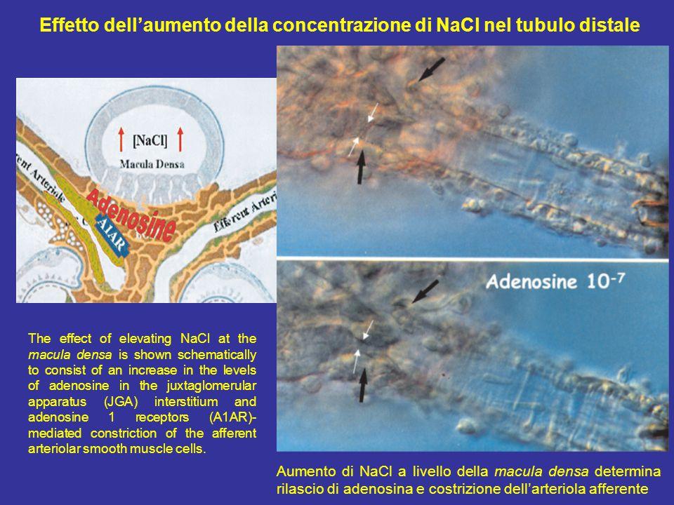Effetto dell'aumento della concentrazione di NaCl nel tubulo distale