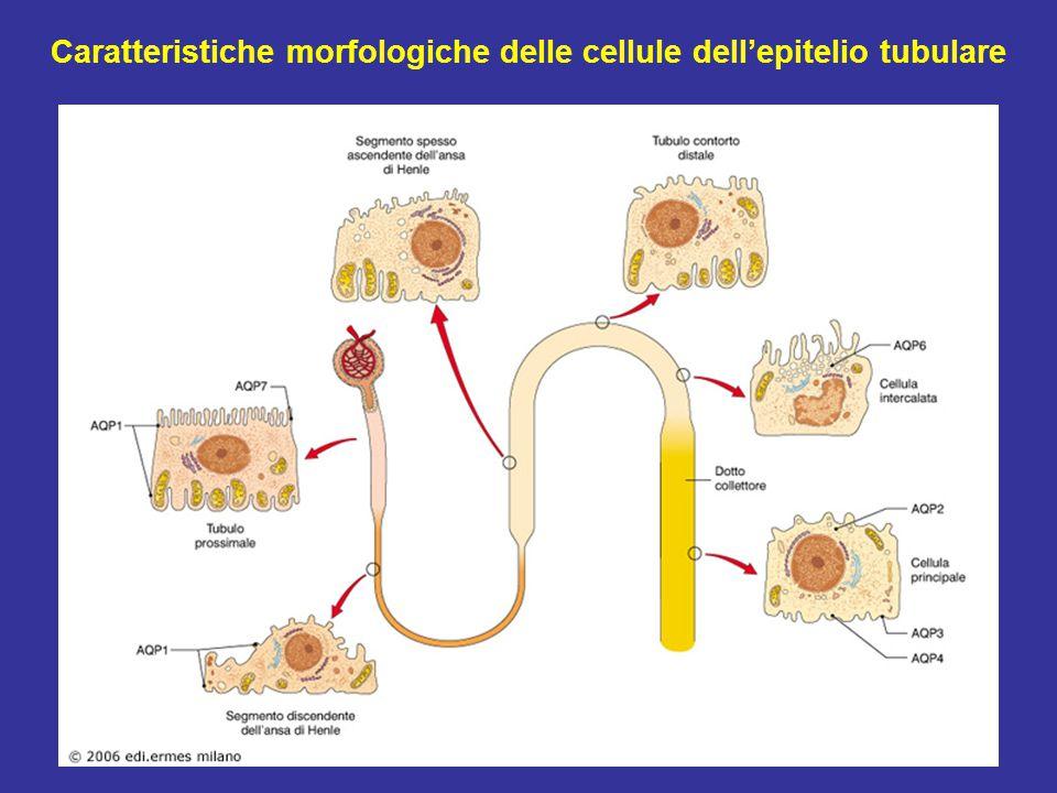 Caratteristiche morfologiche delle cellule dell'epitelio tubulare
