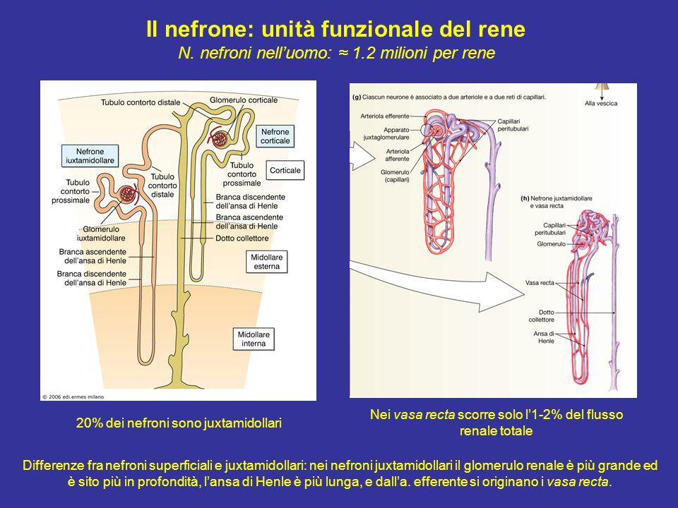 Il nefrone: unità funzionale del rene