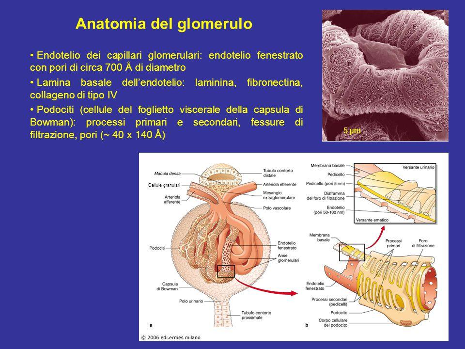 Anatomia del glomerulo