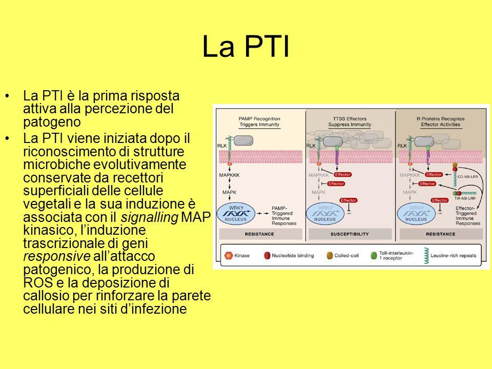 La PTI La PTI è la prima risposta attiva alla percezione del patogeno