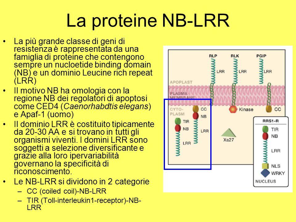 La proteine NB-LRR
