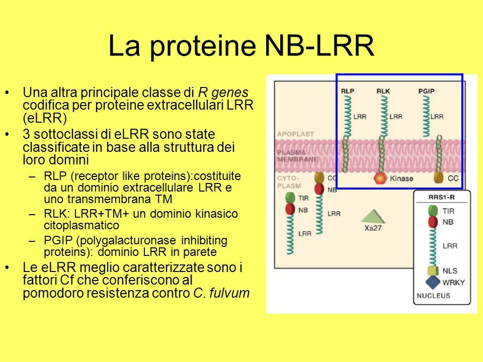 La proteine NB-LRR Una altra principale classe di R genes codifica per proteine extracellulari LRR (eLRR)
