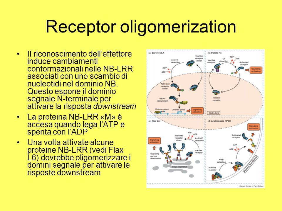 Receptor oligomerization