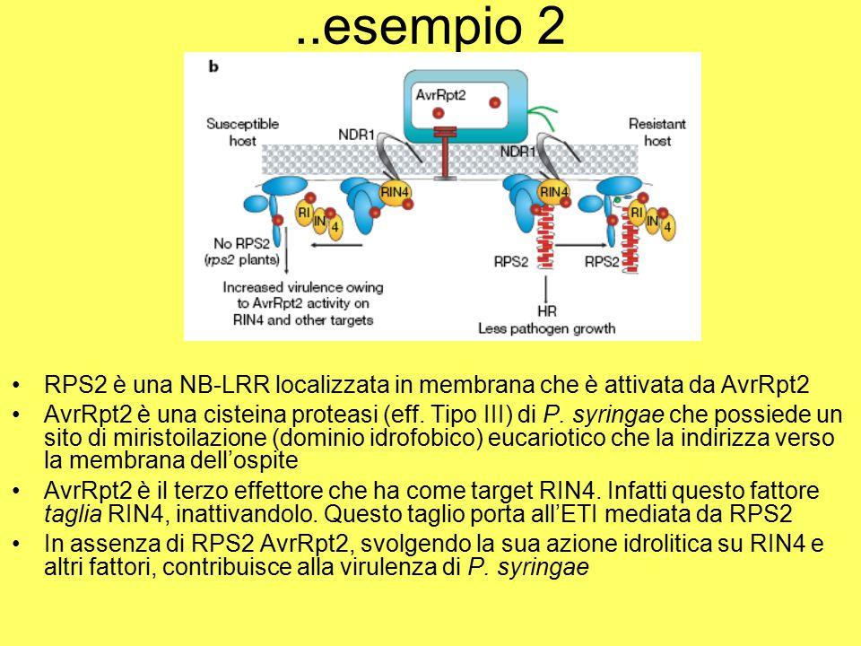 ..esempio 2 RPS2 è una NB-LRR localizzata in membrana che è attivata da AvrRpt2.