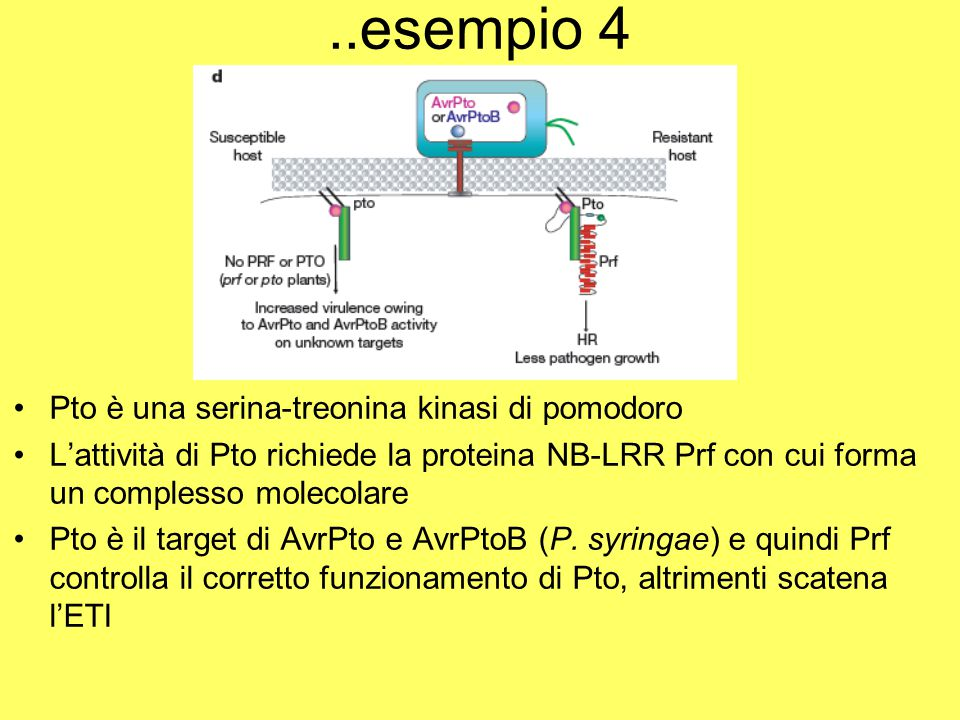 ..esempio 4 Pto è una serina-treonina kinasi di pomodoro