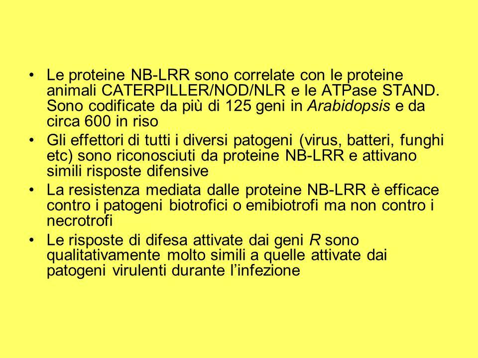 Le proteine NB-LRR sono correlate con le proteine animali CATERPILLER/NOD/NLR e le ATPase STAND. Sono codificate da più di 125 geni in Arabidopsis e da circa 600 in riso