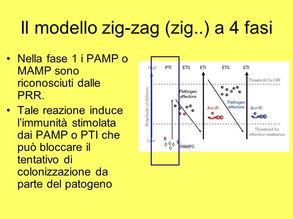 Il modello zig-zag (zig..) a 4 fasi
