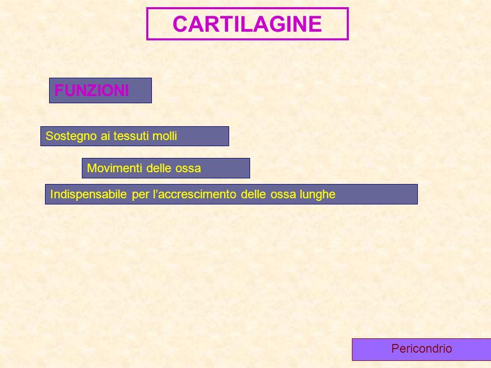CARTILAGINE FUNZIONI Sostegno ai tessuti molli Movimenti delle ossa