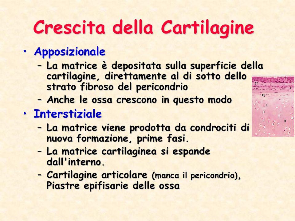 Crescita della Cartilagine