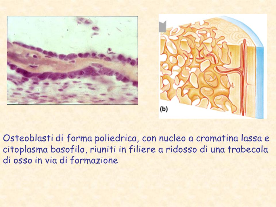 Osteoblasti di forma poliedrica, con nucleo a cromatina lassa e citoplasma basofilo, riuniti in filiere a ridosso di una trabecola di osso in via di formazione