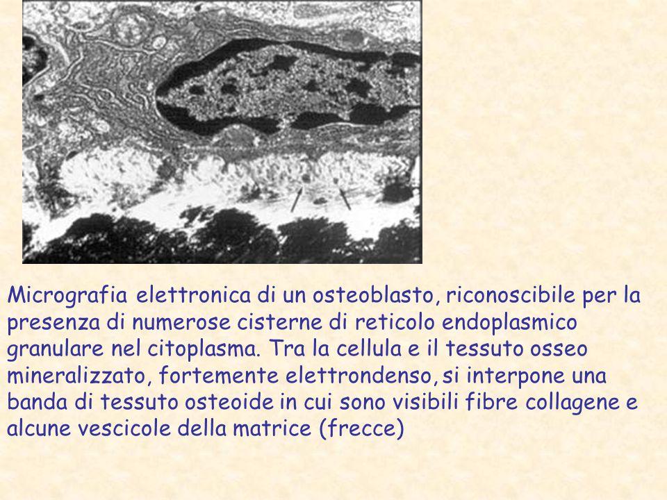 Micrografia elettronica di un osteoblasto, riconoscibile per la presenza di numerose cisterne di reticolo endoplasmico granulare nel citoplasma.