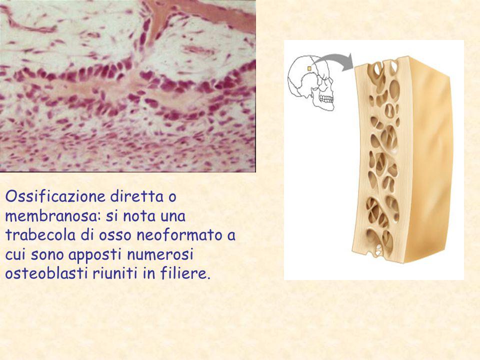 Ossificazione diretta o membranosa: si nota una trabecola di osso neoformato a cui sono apposti numerosi osteoblasti riuniti in filiere.