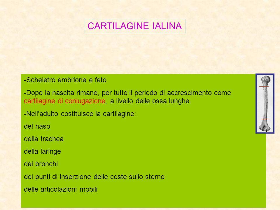 CARTILAGINE IALINA -Scheletro embrione e feto