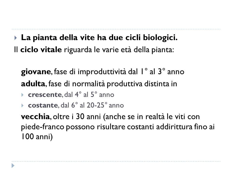 La pianta della vite ha due cicli biologici.