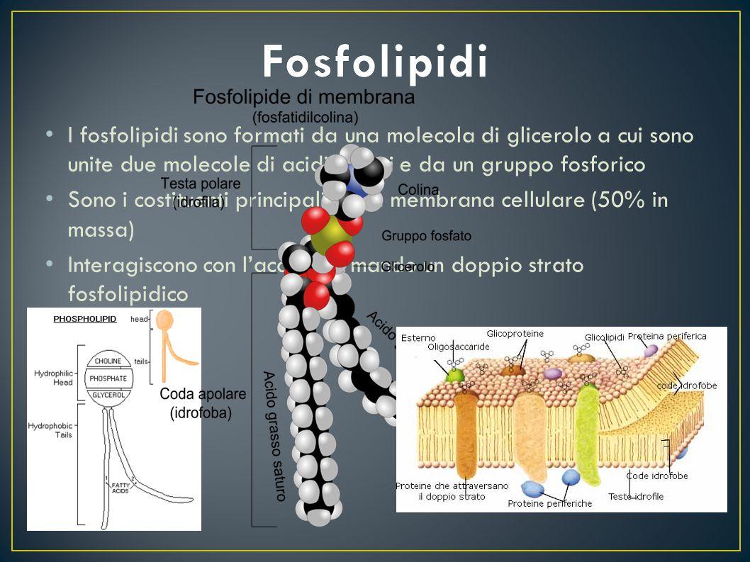 Fosfolipidi I fosfolipidi sono formati da una molecola di glicerolo a cui sono unite due molecole di acidi grassi e da un gruppo fosforico.