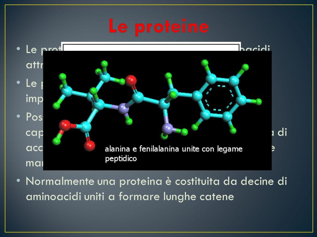 Le proteine Le proteine si formano dall'unione di aminoacidi attraverso reazioni di condensazione.