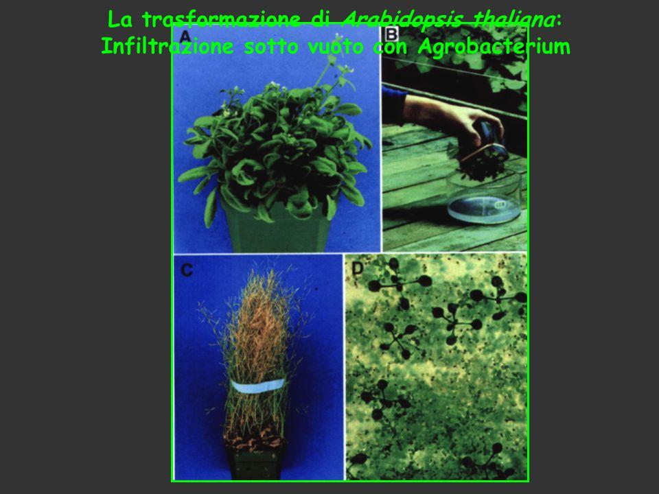 La trasformazione di Arabidopsis thaliana: