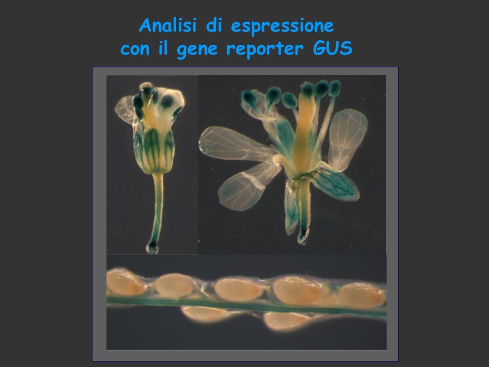 Analisi di espressione con il gene reporter GUS