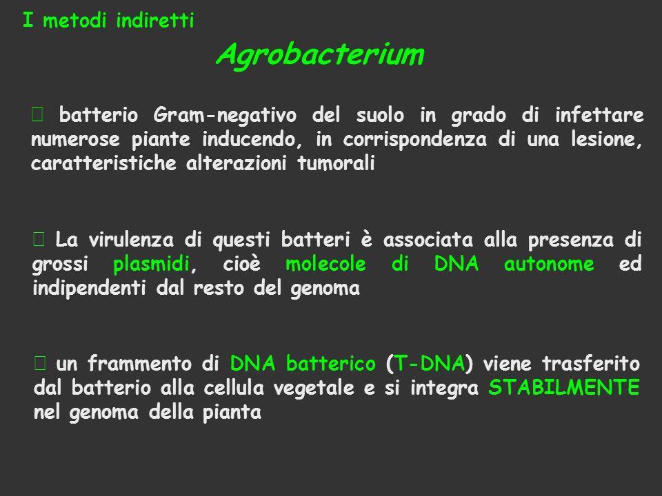Agrobacterium I metodi indiretti