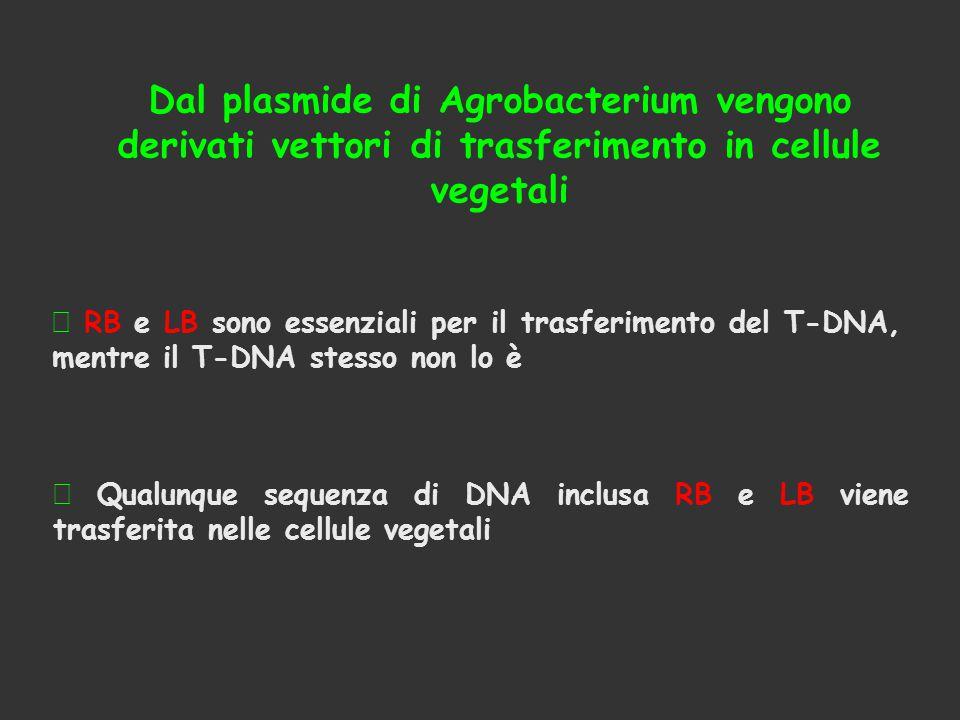 Dal plasmide di Agrobacterium vengono derivati vettori di trasferimento in cellule vegetali
