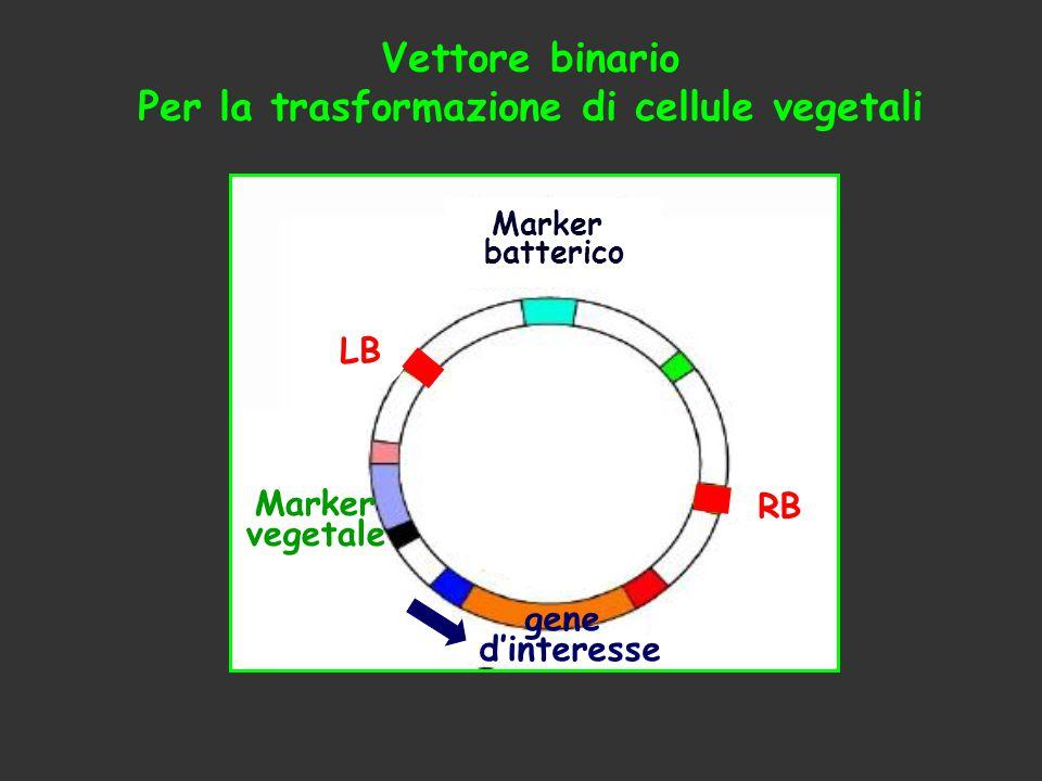 Per la trasformazione di cellule vegetali
