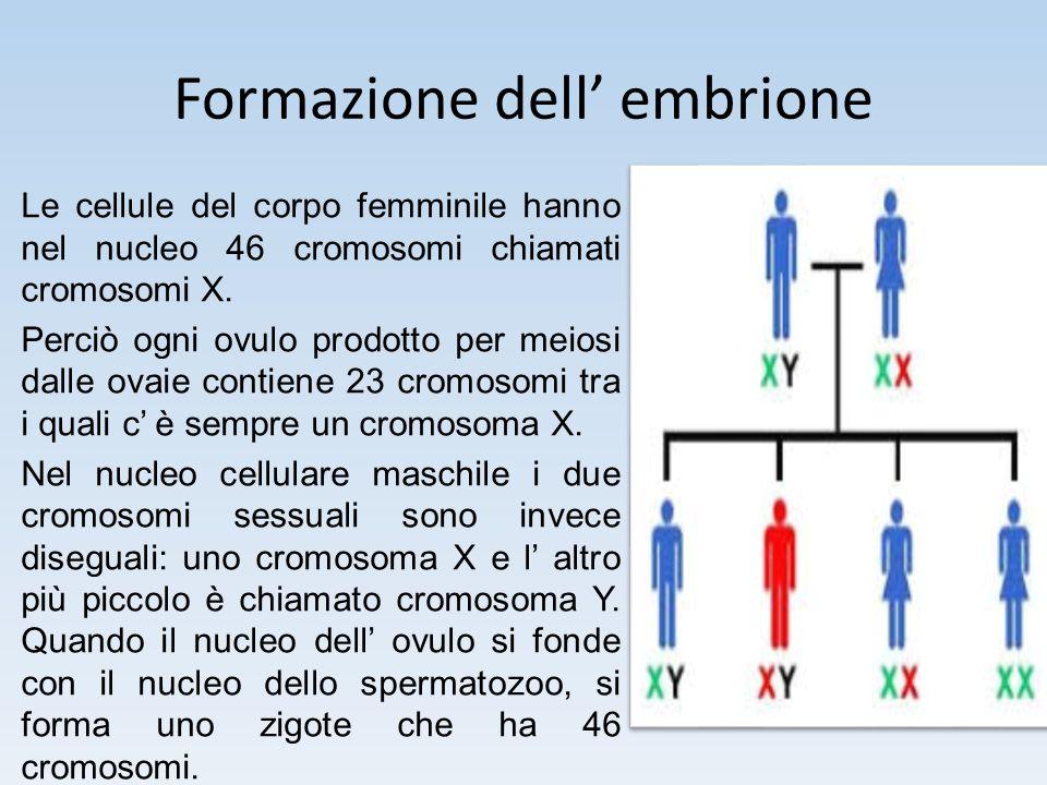 Formazione dell' embrione