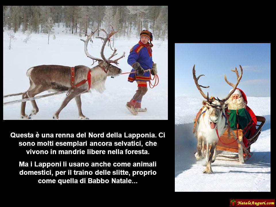Questa è una renna del Nord della Lapponia