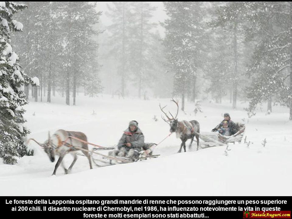 Le foreste della Lapponia ospitano grandi mandrie di renne che possono raggiungere un peso superiore ai 200 chili.