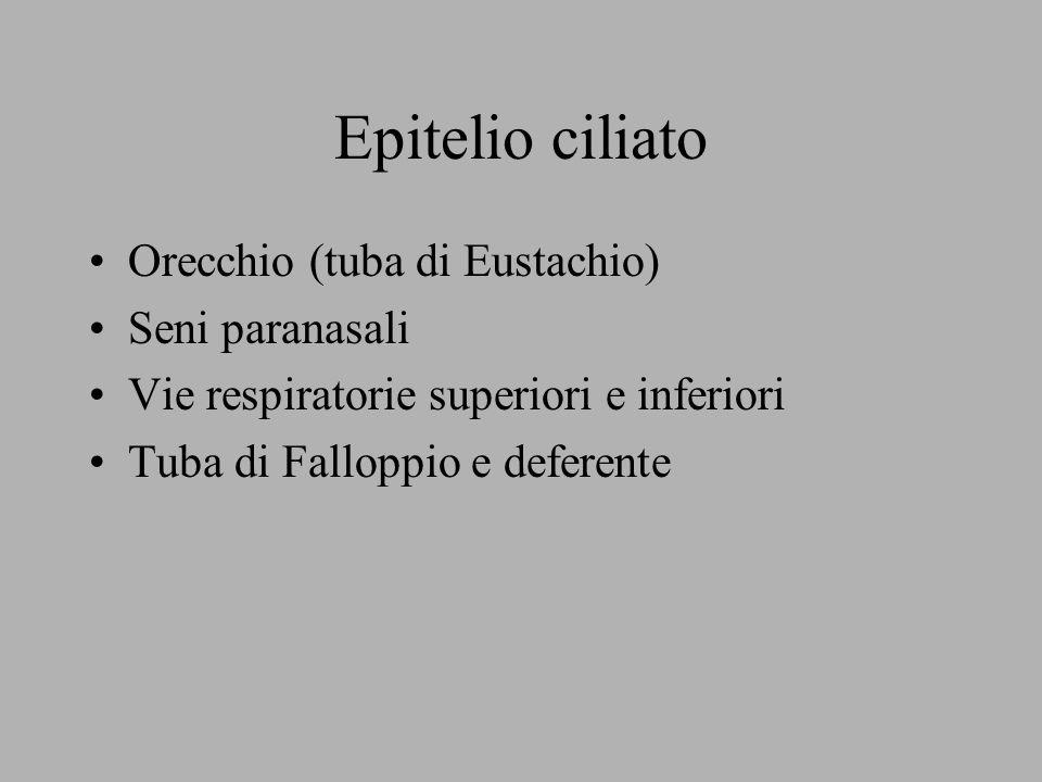 Epitelio ciliato Orecchio (tuba di Eustachio) Seni paranasali
