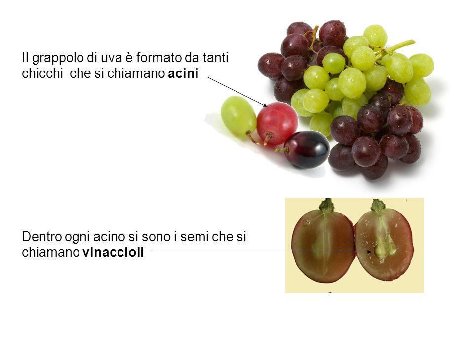 Il grappolo di uva è formato da tanti chicchi che si chiamano acini