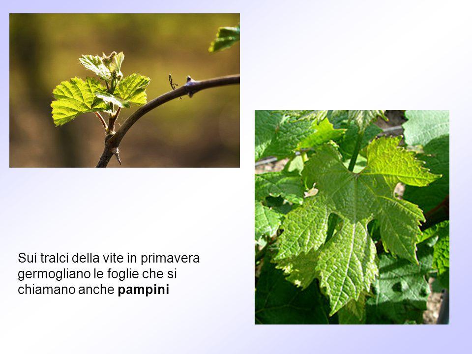 Sui tralci della vite in primavera germogliano le foglie che si chiamano anche pampini