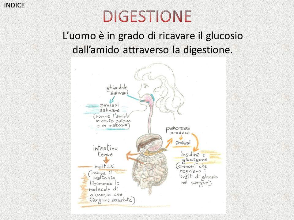 INDICE DIGESTIONE L'uomo è in grado di ricavare il glucosio dall'amido attraverso la digestione.