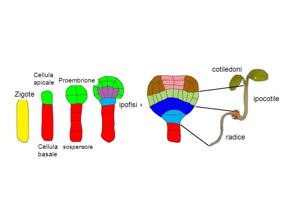 cotiledoni Zigote ipocotile ipofisi radice Cellula apicale Proembrione