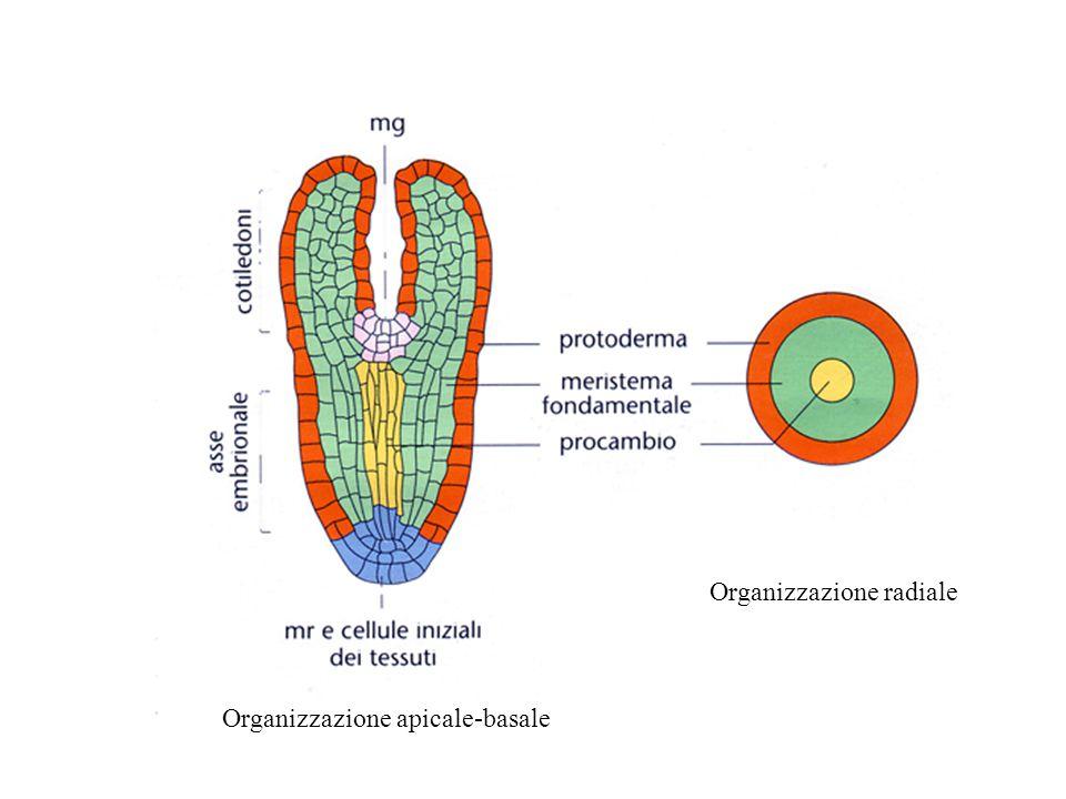 Organizzazione radiale