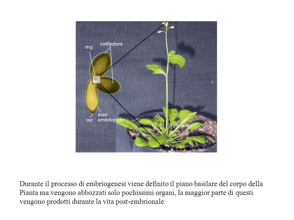 Durante il processo di embriogenesi viene definito il piano basilare del corpo della